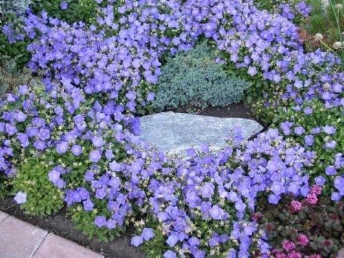 - CAMPANULA 'BLUE CLIPS' ~Bellflower, Campanula Carpatica~ 25+ Perennial Seeds