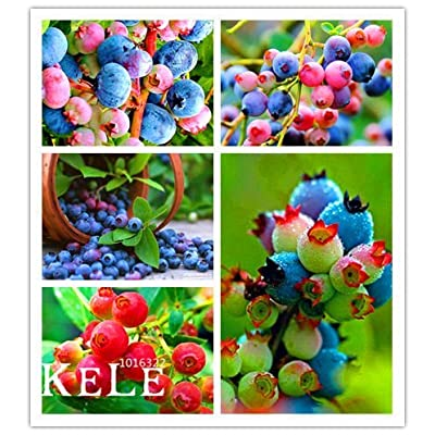 Big Sale!100 Pcs/Lot Colorful Pink Blueberry Tree Seed Fruit Blueberry Seed Potted Bonsai Tree Seeds, #NPT2J8 : Garden & Outdoor