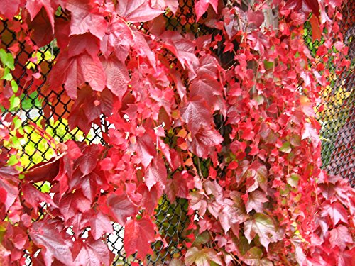 "Red Boston Ivy ""100 Seeds"" Parthenocissus Tricuspidata Climbing Vine : Red Boston Ivy"