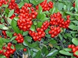 25 SCARLET FIRETHORN Pyracantha Coccinea Flower Shrub Bush Seeds