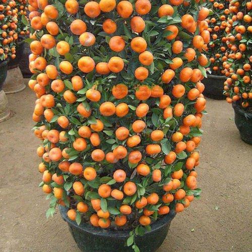Mandarin Orange Dwarf Seeds Indoors Outdoors Fruit Tree Seeds 30pcs+ A01 SVI