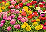 Zinnia Speciality Roll Out Flowers - Concentrated Flower Planting Gardener Indoor Outdoor Kit - ZIN3000-3 Pack - by Garden Innovations