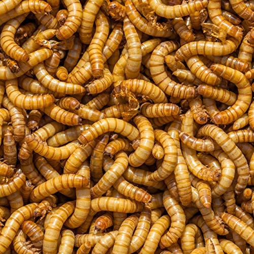 DBDPet Organically Grown Bulk Premium 1,500ct Live Mealworms - Great Food for Leopard Geckos, Chameleons, Geckos, Wild and Pet Birds, Blue Birds, Chickens - Includes Caresheet ()