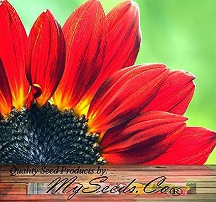 Amazon 80 sunflower seeds velvet queen velvety dark 80 sunflower seeds velvet queen velvety dark mahogany red flowers dark center mightylinksfo