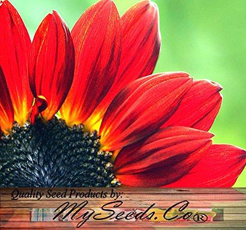 - 80 Sunflower Seeds - Velvet Queen Velvety, Dark Mahogany-red Flowers Dark Center - by MySeeds.Co