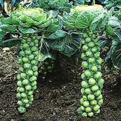 500+ de cultivo ecológico Long Island Mejora Coles de Bruselas ...