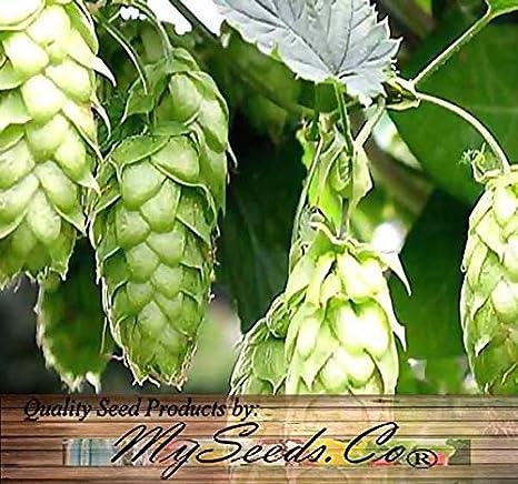 Amazon.com: Semillas – de lúpulo Humulus lupulus semillas ...
