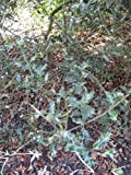 1 Starter Plant of Ilex Aquifolium 'Crassifolia' - Holly Tree
