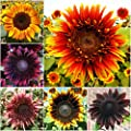 Package of 50 Seeds, Double Dance Mixed Sunflower (Helianthus annuus) Non-GMO Seeds by Seed Needs