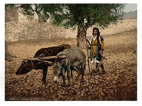 Historic Photos Native of Palestine working with an ox and an ass, Holy Land by Historic Photos