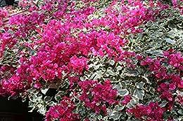 Bougainvillea: Paper flowers
