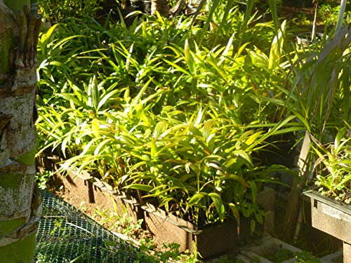 (Kentia Palm Seedlings (Five Bare Root seedlings per Order))