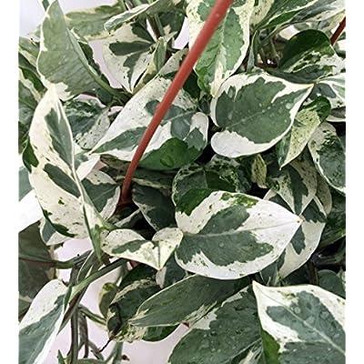 Double Dip Devil's Ivy - Epipremnum Aureum - 4
