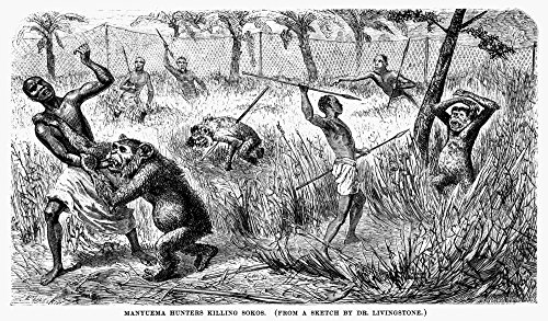 Africa Ape Hunting Nmanyema Hunters Killing Soko Apes Eastern Congo C1870 Wood Engraving After A Sketch By David Livingstone From An American Edition Of His Last Journals In Central Africa 1875 Poster