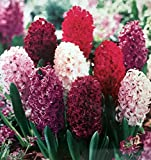 16 Hyacinth Purple Blend - Hyacinth Orientalis