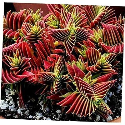 "KAG 2"" Pot Crassula Pagoda Red Corymbulosa Succulent Plant - RK1810 : Garden & Outdoor"