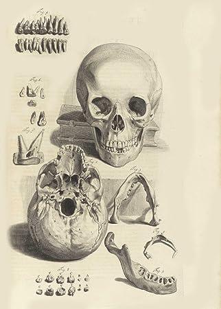 amazon com vintage anatomy teeth from anatomia humani corpris 1685