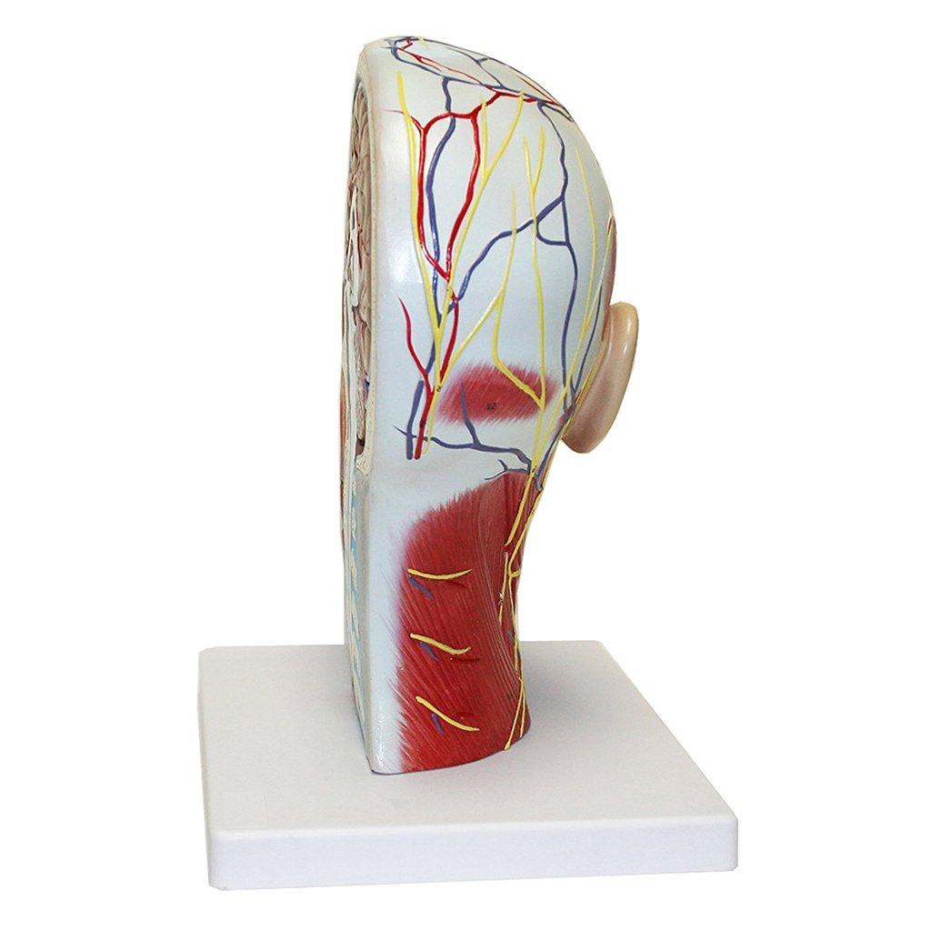 kesoto Modelo De Cerebro De Anatom/ía Humana Modelo De Cabeza Con Cuello