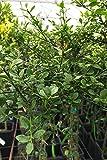 Finger Lime, Australian Green 'Citrus Caviar' Sweet Tart Lime Flavor, Fruit Citrus Tree Plant (1 Gallon (4 inch Citra Pot))