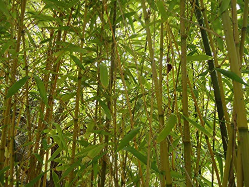 (50+ Red Margin Bamboo Seeds Phyllostachys rubromarginata Tall Privacy)