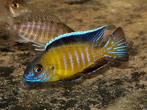 African cichlids live fish for sale ☆ BEST VALUE ☆ Top