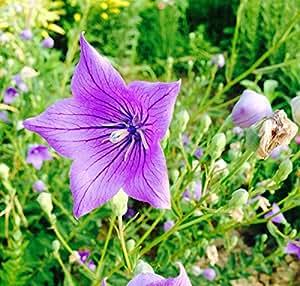 Futaba® Chinese Bellflower(Platycodon Grandiflorum)Campanulaceae Perennial Herbs 200 Seeds