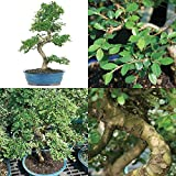 Chinese Elm Bonsai Plant Tree Garden and Home New Best Gift