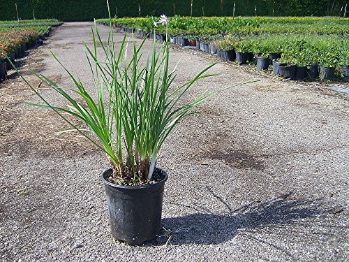 Tulbaghia violacea, Society Garlic - 3 Gallon Live Plant - 4 pack by PlantVine