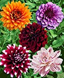Large Flowering Decorative Dahlia Mix Tuber, Root Start, Bulb, SeedsBulbsPlants&More
