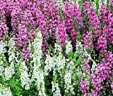 ANGELONIA SERENA MIXED COLORS Angelonia Angustifolia - 100 Bulk Seeds