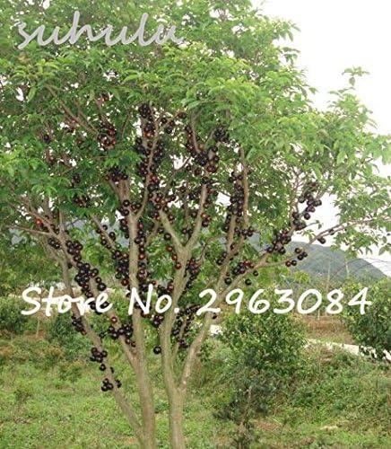 Semi pianta ornamentale Plinia cauliflora Semi 100Pcs Famiglia Myrtaceae Jabuticaba frutta Novel stabilimento brasiliano di semi duva albero