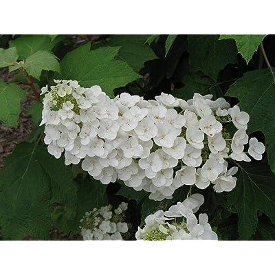 "AchmadAnam - 4"" Pot - Alice Oakleaf Hydrangea - White Blooms, Plant, Bush, Shrub : Garden & Outdoor"