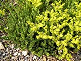 Watch Chain Stonecrop Perennial - Sedum sexangulare - Loves The Sun - Quart Pot by AchmadAnam