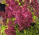 Burgundy Queen Red Lilac ( syringa ) - Live Plant - Quart Pot