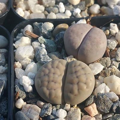 Lithops Living Stones Succulent Plant - 3.5 inch Pot (2 Plants) : Garden & Outdoor