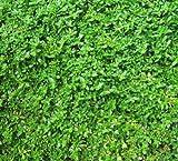 Herniaria Glabra - 500 Seeds