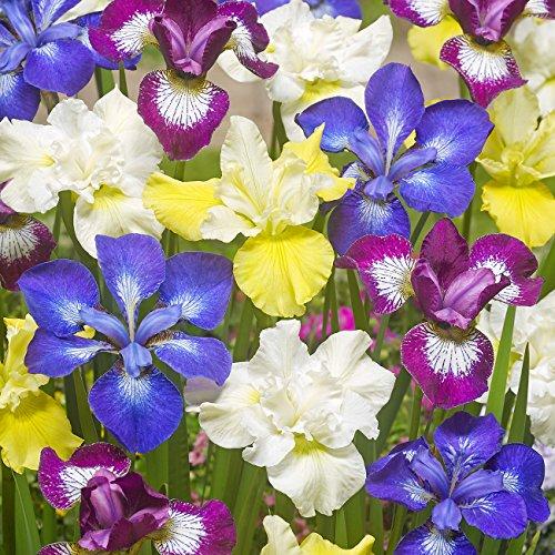Van Zyverden New & Exclusive - Iris Siberica Speciality Mixture 339  - Set of 5 Roots Plant Iris Bulbs