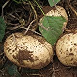 HOO PRODUCTS - Sweet potato Seeds, jicama / yam bean seeds, garden fruits and vegetables seeds 6pcs Brand New !