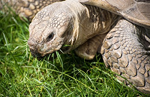 (African Grasses Tortoise Blend (1600 seed) Sulcata Leopard grass)