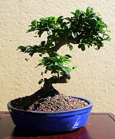 Amazon.com : LOUSBONSAINURSRY WHITE FLOWERING FUKIEN TEA BONSAI TREE ...
