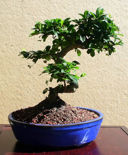(LOUSBONSAINURSRY WHITE FLOWERING FUKIEN TEA BONSAI TREE (INDOORS))