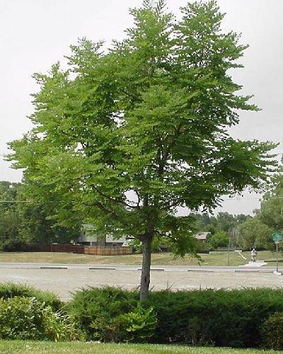 50-kentucky-coffee-tree-seeds-gymnocladus-dioicus