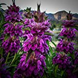 All Good Things Organic Seeds Lemon Bee Balm Seeds (~85): Certified Organic, Non-GMO, Heirloom, Open Pollinated Seeds from the United States