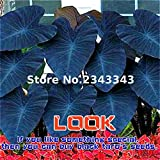 100pcs Alocasia Macrorrhiza Seeds Giant Taro Seed Garden Elephant Ear Taro Plants Ornamental Leaves Edible Root Vegetable Black