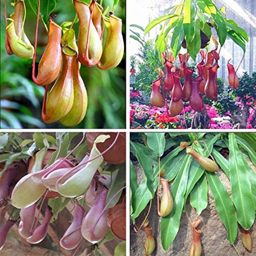 DEWIN Seeds - 20Pcs Pitcher Plant Seeds
