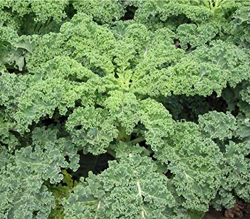 Dwarf Siberian Kale Seeds Easy Grow Heirloom for Garden or Microgreens Bin43 (60K Seeds, or 8 Ounces, 8 oz)