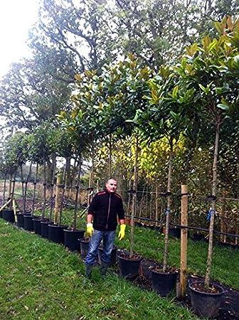 Magnolia Grandiflora Gallisoniensisbull Bay Extra Heavy Standard