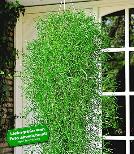 BALDUR-Garten Hängender Bambus
