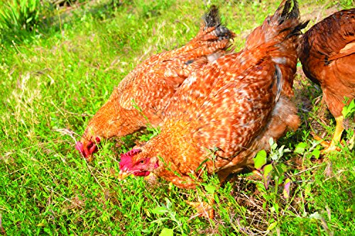 Pacific Northwest Poultry Pasture Blend (1500 sq ft)