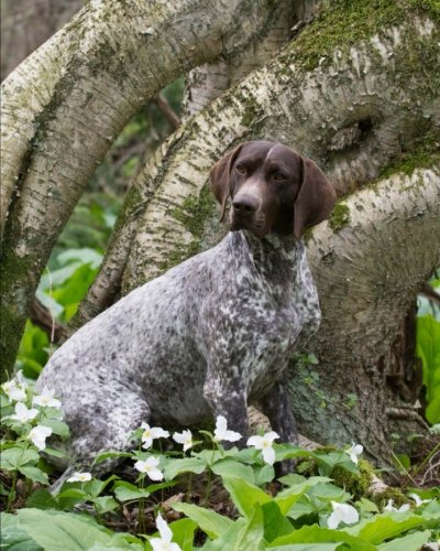 German Shorthaired Pointer: Artified Pets Dog Journal/Notebook/Diary Akc German Shorthaired Pointer